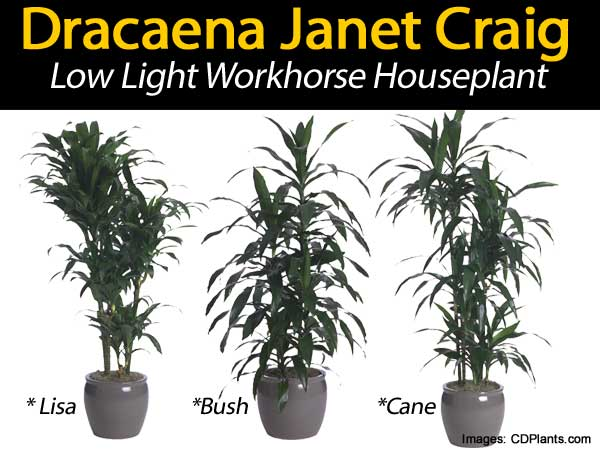 janet craig dracaena low light workhorse houseplant