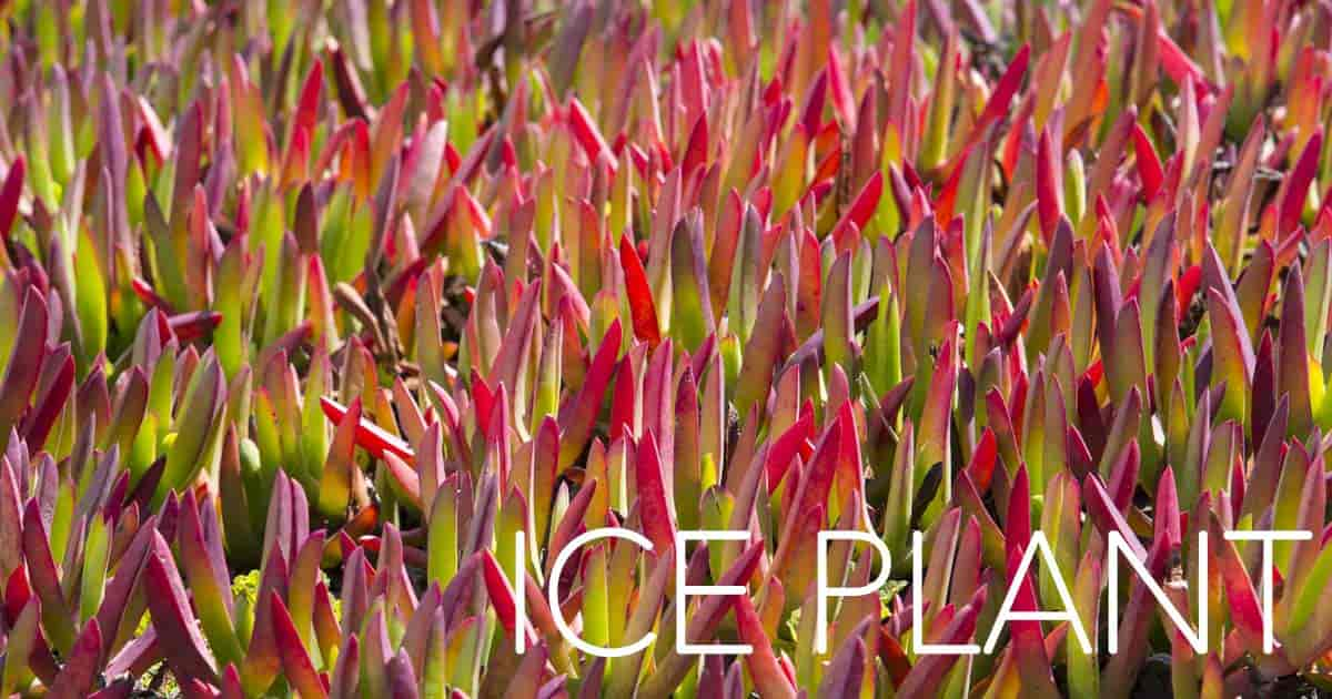 red ting on leaves of the ice plant