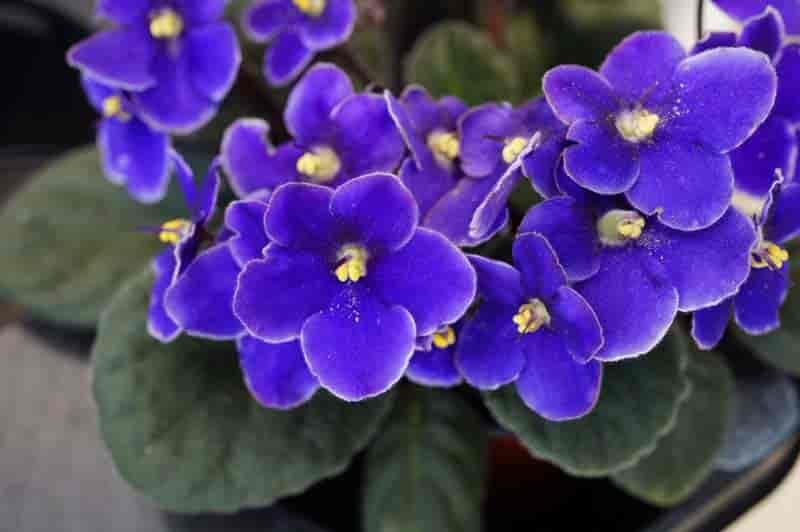 african violet in flower