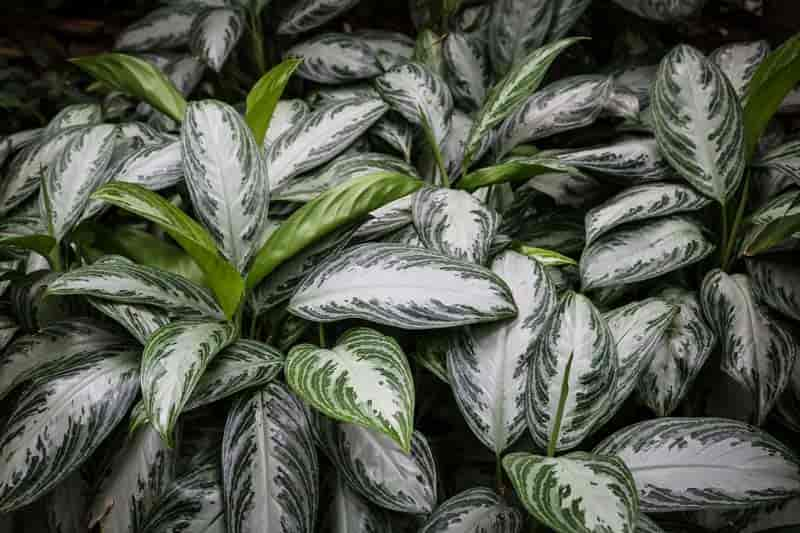 leaves of Aglaonema - Chinese evergreen