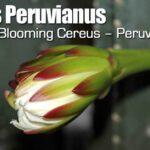 Cereus Peruvianus – Night Blooming Cereus – Peruvian Apple