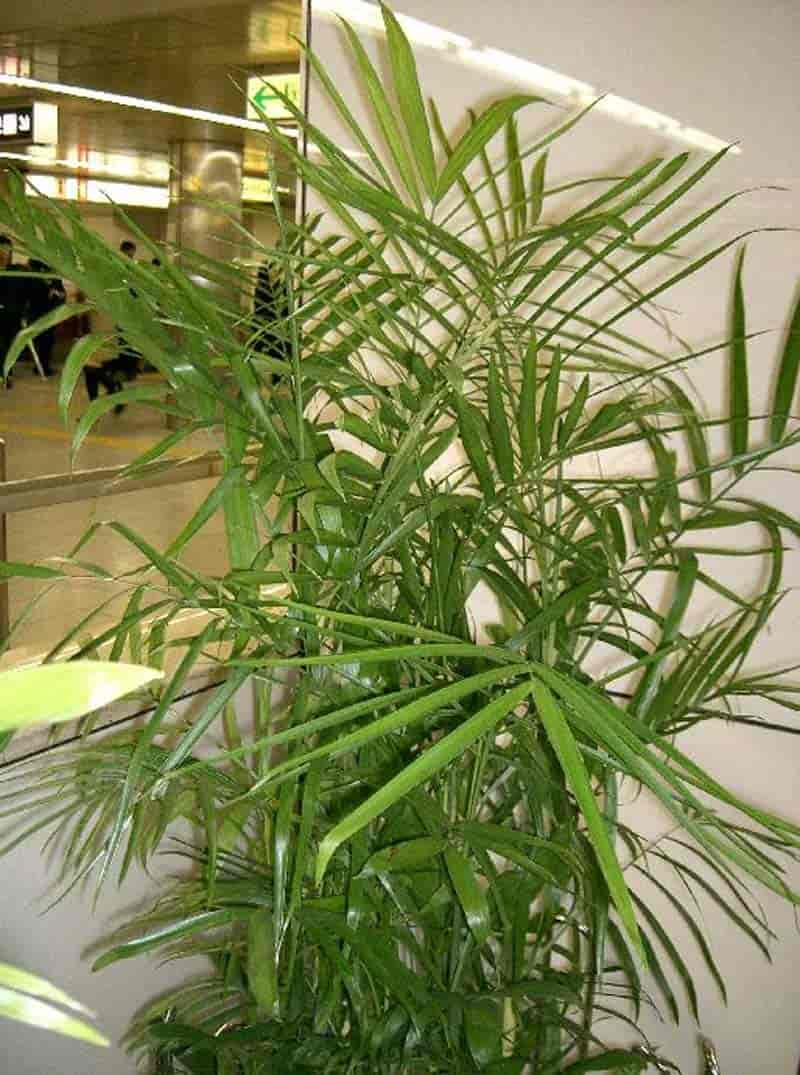 leaves of the Chamaedorea seifritzii - bamboo palm