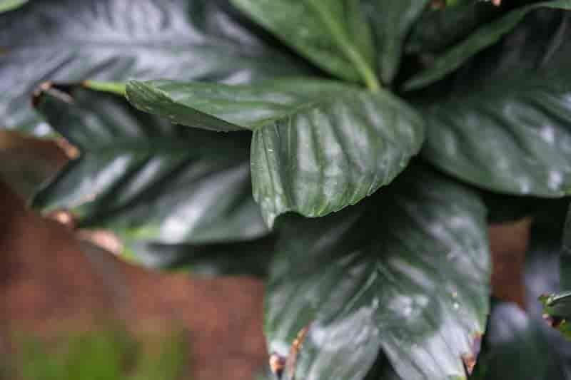 leaves of Chamaedorea metallica