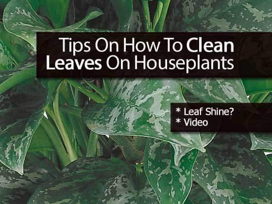 Tips On How To Clean Leaves On Houseplants