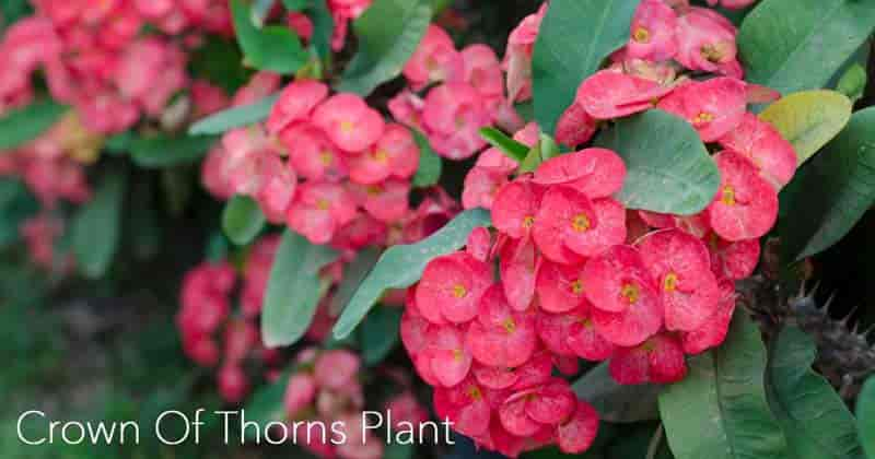 flowers on Crown of Thorns
