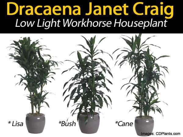 dracaena janet craig different forms