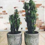 Euphorbia Trigona: African Milk Tree Exotic and Sometimes Dangerous