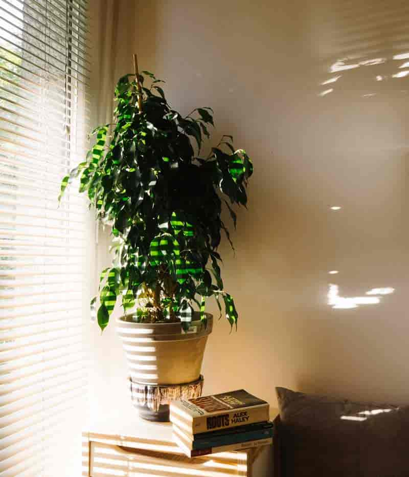 ficus benjamina growing by window