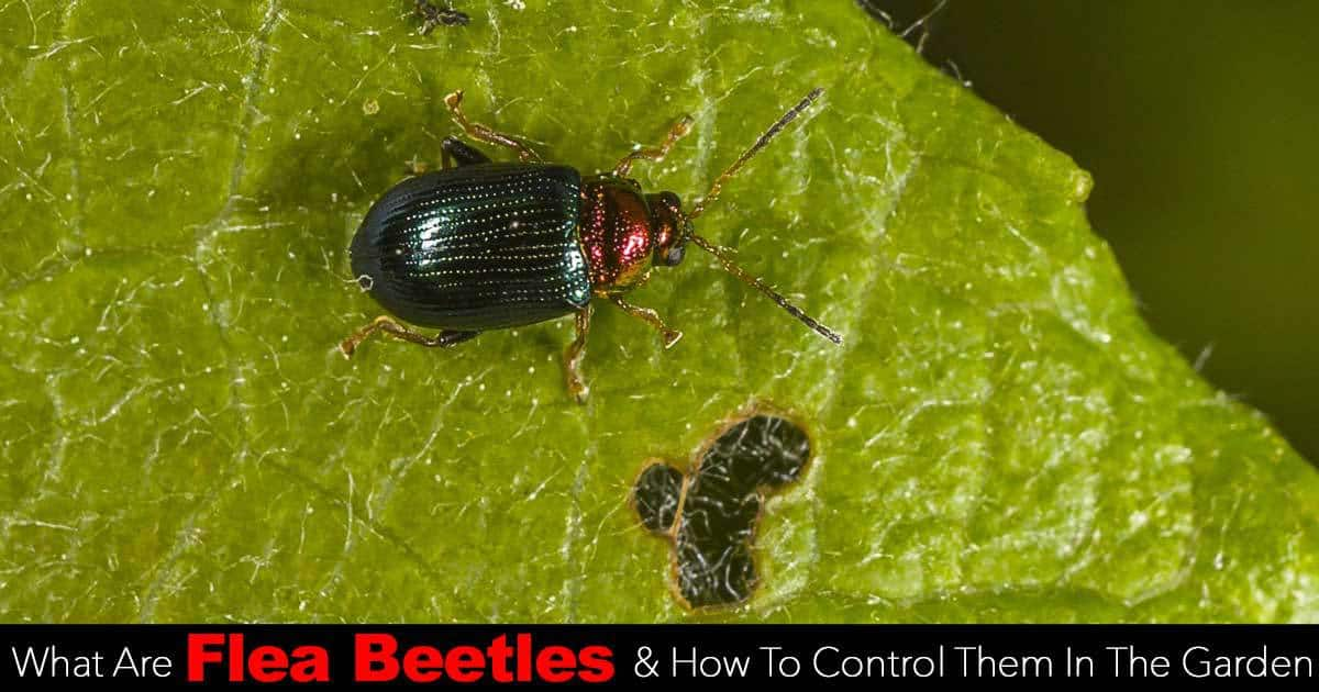 What Is A Flea Beetle And How To Control Them In The Garden