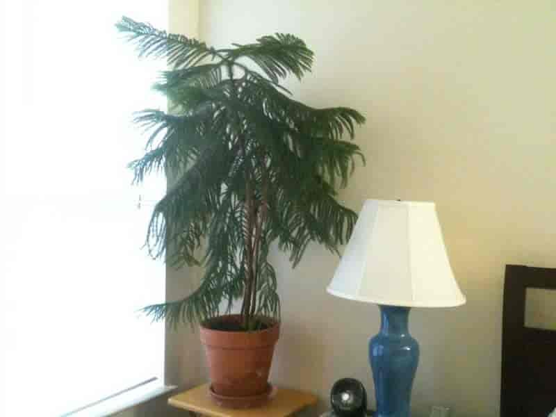 norfolk island pine growing indoors