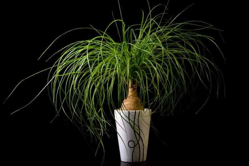 potted ponytail palm - online recurvata