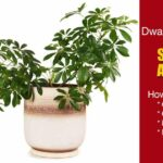 How To Grow and Care For Schefflera Arboricola – Dwarf Umbrella Tree