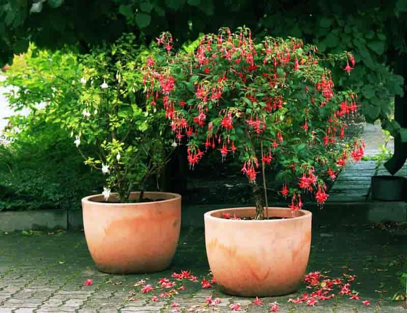 Fuchsia plants grown as standard trees