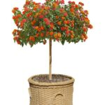 """Growing """"Standard"""" Trees Perfect Plants For Balcony, Deck, Patio and Front Entry"""