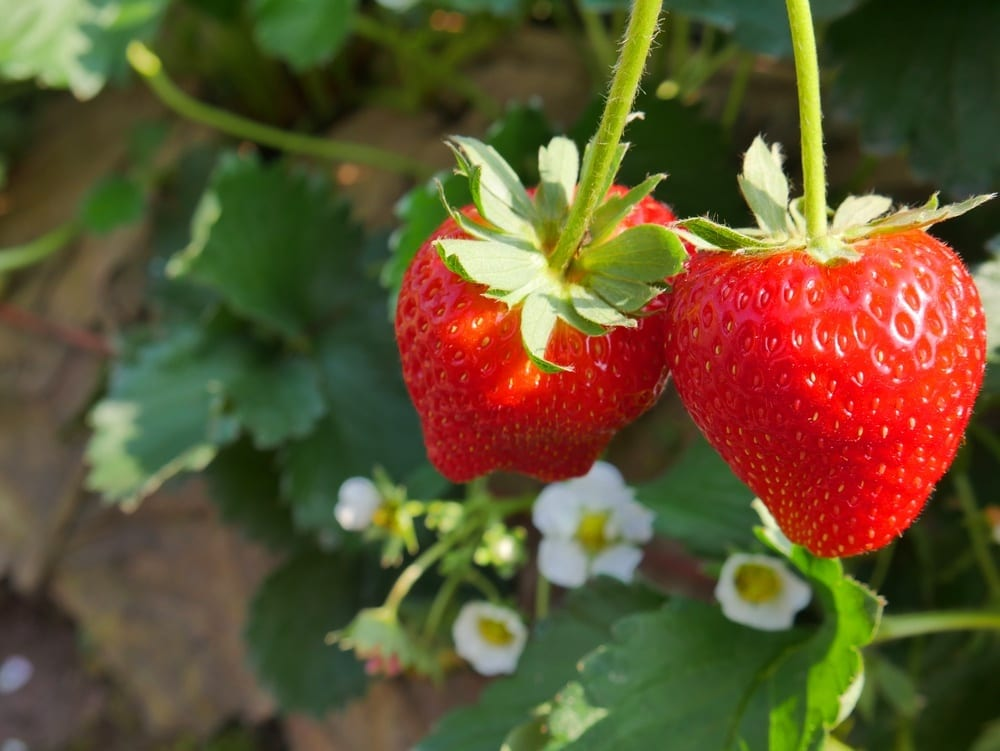 When to Plant Strawberries (Hint: Think Spring)