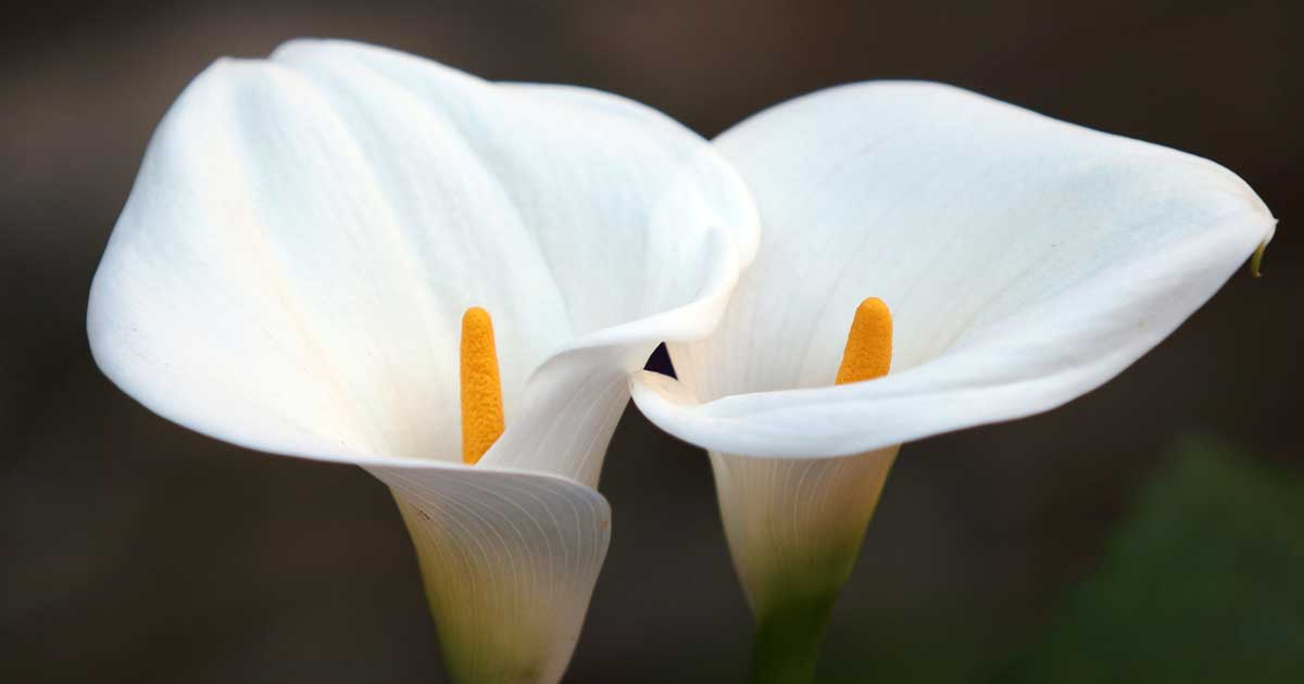 Calla Lily Care: How To Grow Calla Lilies (Updated)