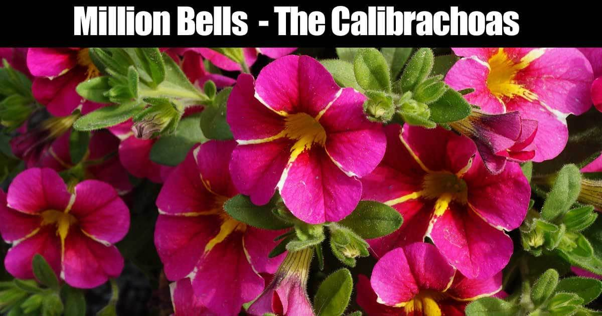 million-bells-calibrachoas-12312015