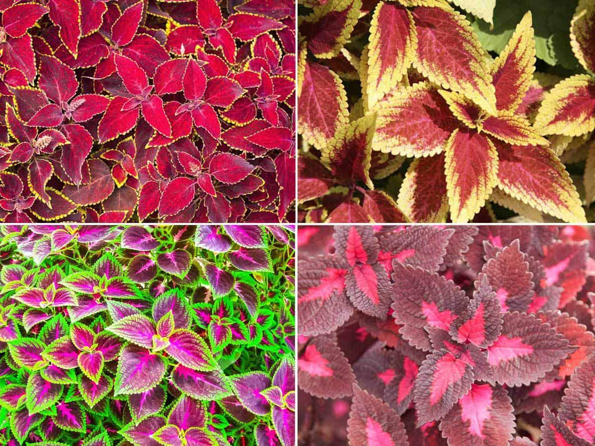 Coleus Plant Varieties