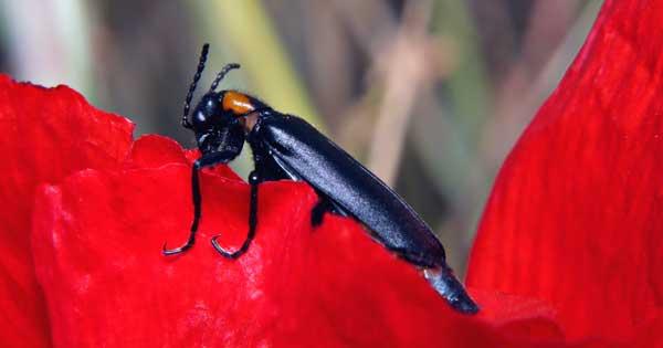 black blister beetle feeding on flower