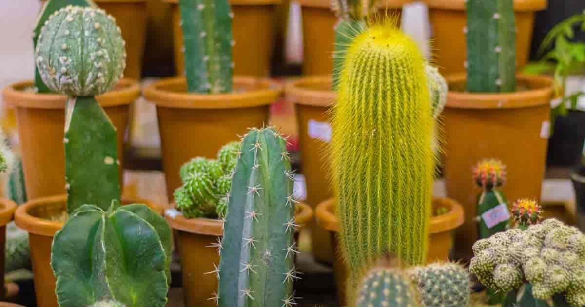 Cactus Propagation: How To Propagate Cactus Plants