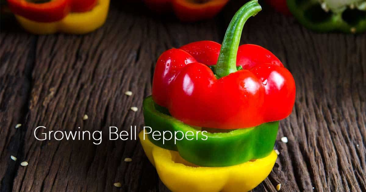 Growing Bell Peppers For Gardening Beginners
