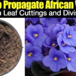 How To Propagate African Violets From Leaf Cuttings and Divisions