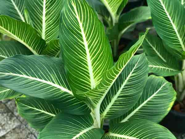 striped Dieffenbachia plant aka dumb cane excellent for high humidity bathroom