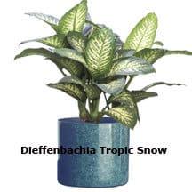 dieffenbachia-tropic-snow
