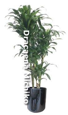 dracaena-michiko