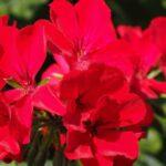 Geranium Care: How To Grow And Care For Geranium Plants