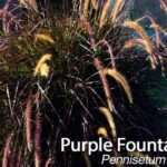 Purple Fountain Grass: How To Care For Pennisetum Setaceam