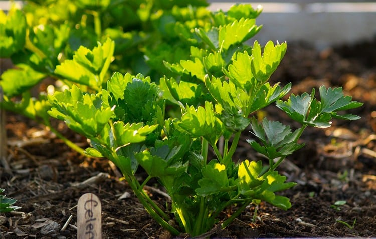 How To Grow Your Own Organic Celery