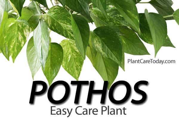 Easy Care Pothos Plant