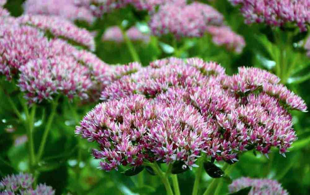 Sedum Plant Care: Learn How To Grow Stonecrop Plants