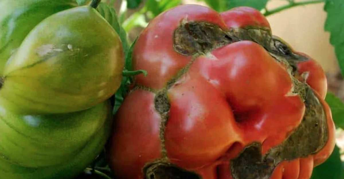 Tomato Blight: Identification, Prevention, and Treatment