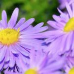 What Is A Composite Flower?