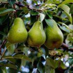 Optimize Fruit Tree Soils for Best Production