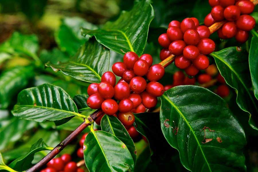 Can You Grow Your Own Coffee Beans at Home?