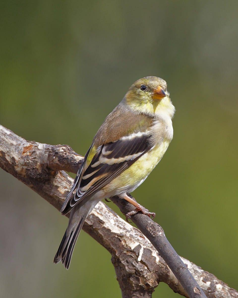Female Yellow finch bird on a branch