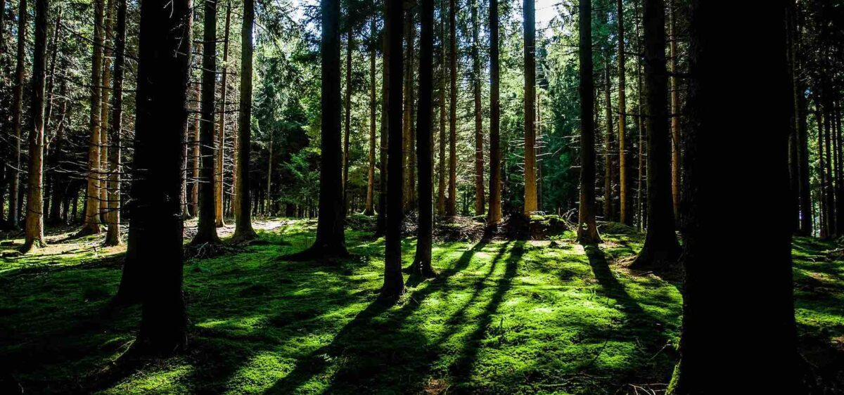 A vivid forest of tall trees